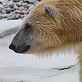 Polar Bear 2 by Scott Hovind