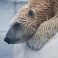 Polar Bear 6 by Scott Hovind