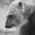 Polar Bear 7 by Scott Hovind