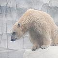 Polar Bear 8 by Scott Hovind