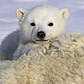 Polar Bear Cub Canada by Suzi Eszterhas