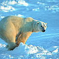 Polar Bear by D Robert Franz