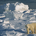 Polar Bear Lone Yearling On Shore by Suzi Eszterhas