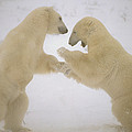 Polar Bear Males Sparring Churchill by Flip Nicklin