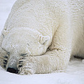Polar Bear Sleeping In Churchill by Flip Nicklin