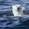 Polar Bear Swimming Off  Baffin Island by Flip Nicklin