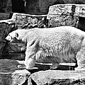 Polar Bear by Tommy Anderson