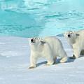 Polar Bear, Ursus Maritimus by Raimund Linke