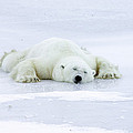 Polar Bear Ursus Maritimus Resting by Matthias Breiter
