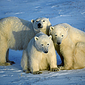 Polar Bear With Cubs by Francois Gohier and Photo Researchers