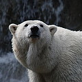 Polar Bear With Waterfall by Richard Bryce and Family