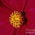 Pollen Dust by Sharon Elliott