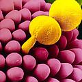 Pollen Germinating On Stigma Of Goosegrass by Dr Jeremy Burgess