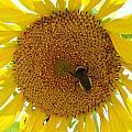 Pollen Hunter by Michael MacGregor