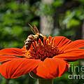Pollenating by Susan Herber