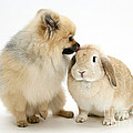 Pomeranian Dog And Rabbit by Mark Taylor
