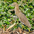 Pond Heron by Fotosas Photography