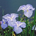 Pond Side Beauty by Hollie Cyr