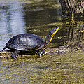 Pond Turtle Basking In The Sun by LeeAnn McLaneGoetz McLaneGoetzStudioLLCcom