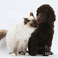 Poodle Pup And Cat by Mark Taylor