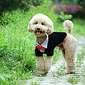 Poodle Wearing Suit by Photography by Bobi