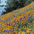 Poppies And Lupine Flowers Blanket by Marc Moritsch