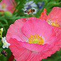 Poppies And Pollinator by Lynn Bauer