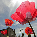 Poppies And Sky by Robert Meyers-Lussier