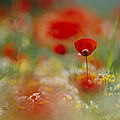 Poppies And Wildflowers In The Desert by Annie Griffiths