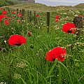 Poppies By The Roadside In Northumberland by Louise Heusinkveld