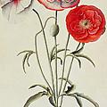 Poppies Corn by Georg Dionysius Ehret