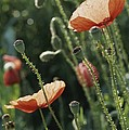 Poppies In A Field In Provence by Nicole Duplaix