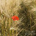 Poppies  In A Field Of Barley   by Bernard Jaubert