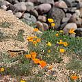 Poppies N River Rocks by Kim Galluzzo Wozniak