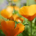 Poppies  by Saija  Lehtonen