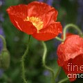Poppies With Impressionist Effect by Living Color Photography Lorraine Lynch