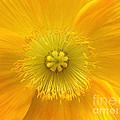 Poppy 2 by Jacklyn Duryea Fraizer