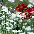 Poppy And White Flowers by Patrick Kessler
