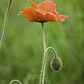 Poppy by David Waldrop