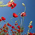 Poppy Field by Ayhan Altun