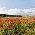 Poppy Field II by Vicki Field