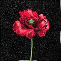 Poppy Flower, Woodcut by Gary Hincks