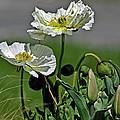 Poppy Flowers by David Freeman