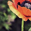 Poppy For One by Traci Cottingham