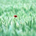 Poppy In Wheat Field by By Julie Mcinnes