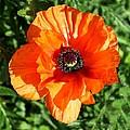Poppy Blossom by John  Nolan