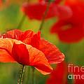 Poppy Love 2 by Andrea Kollo