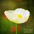 Poppy Of White by Darren Fisher