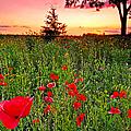 Poppy Patch And Previsualization by Randall Branham