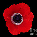 Poppy by Philip Golan